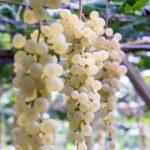 白ブドウシノニム